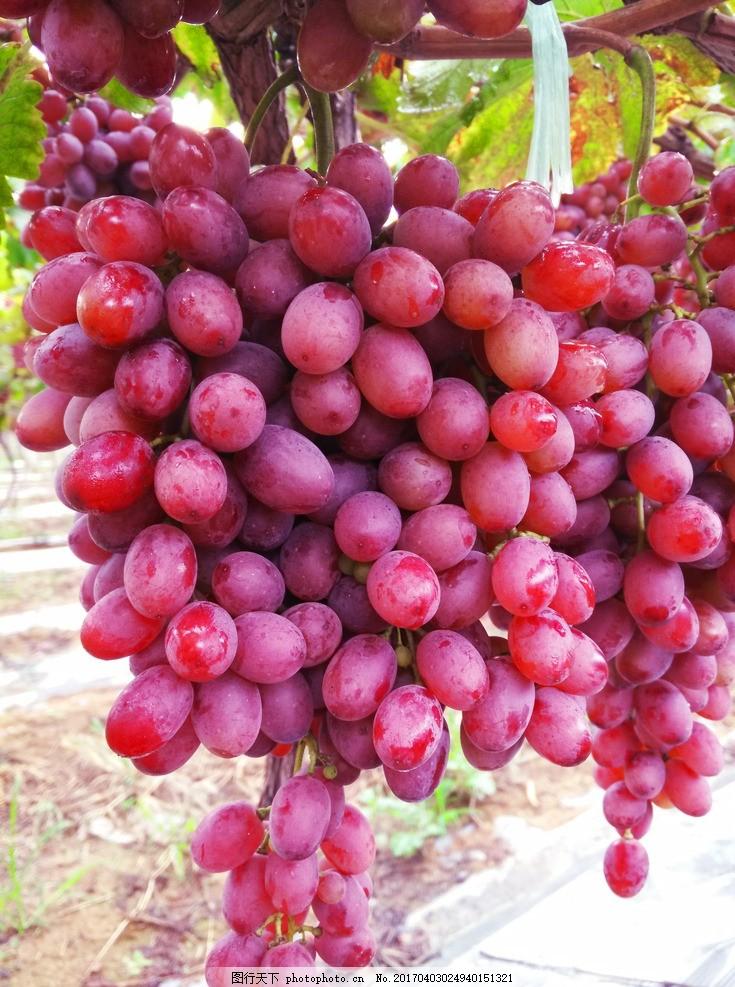 葡萄 农业 农场 种植 瓜果 瓜果种植 摄影