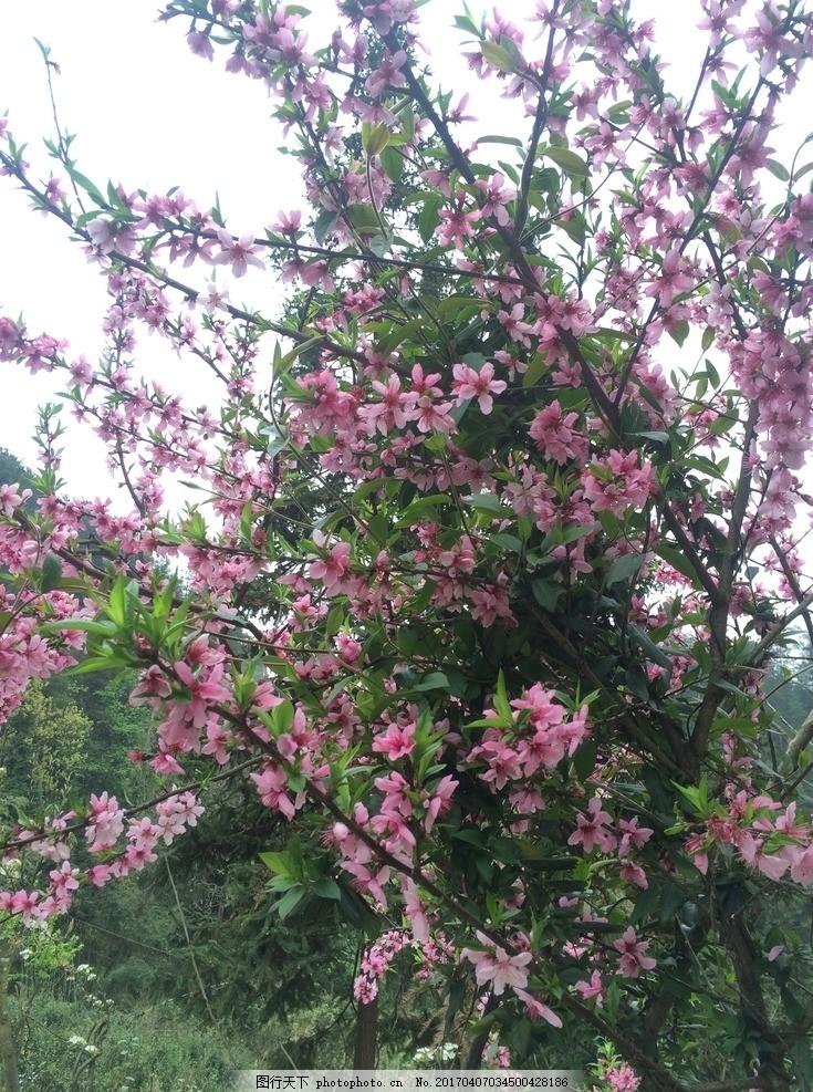 桃花 桃花红 桃园 果园 桃树 粉色桃花 摄影 自然风景