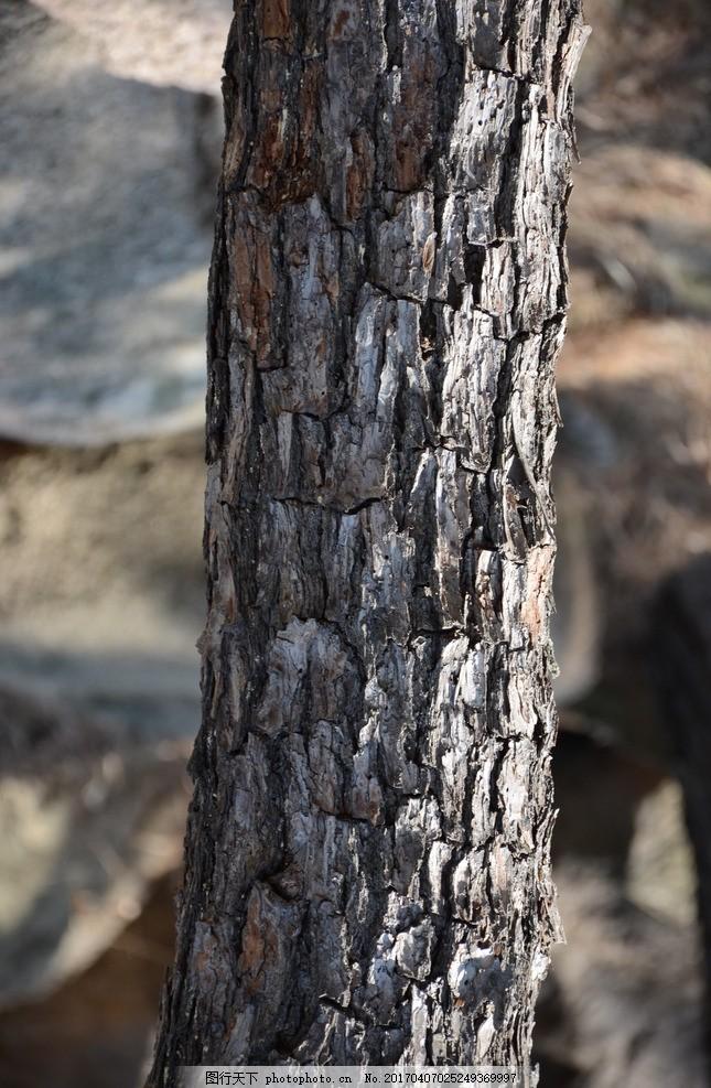 松树贴图 树木纹理 材质贴图 老树皮 摄影 摄影 生物世界 树木树叶