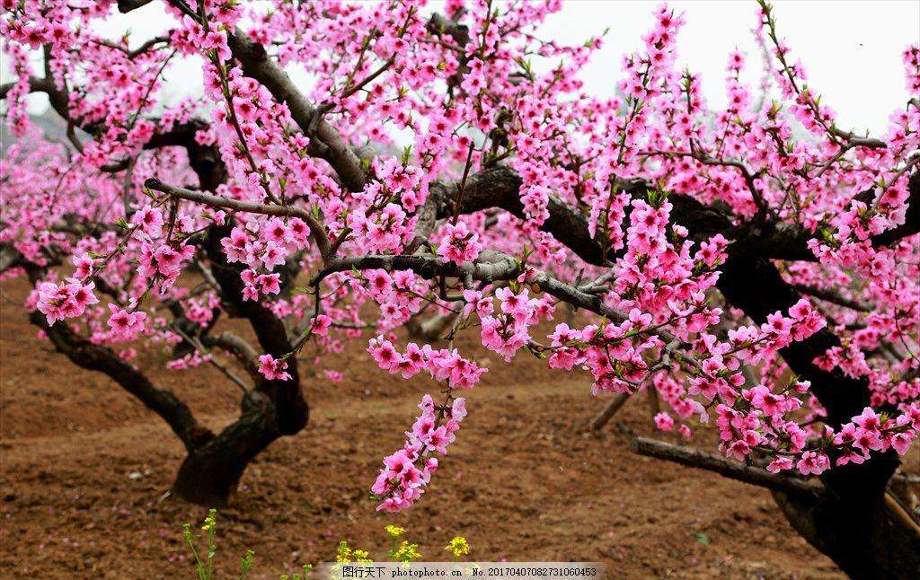 桃花 桃花源 春花 春天 桃花盛开 摄影 自然景观 自然风景