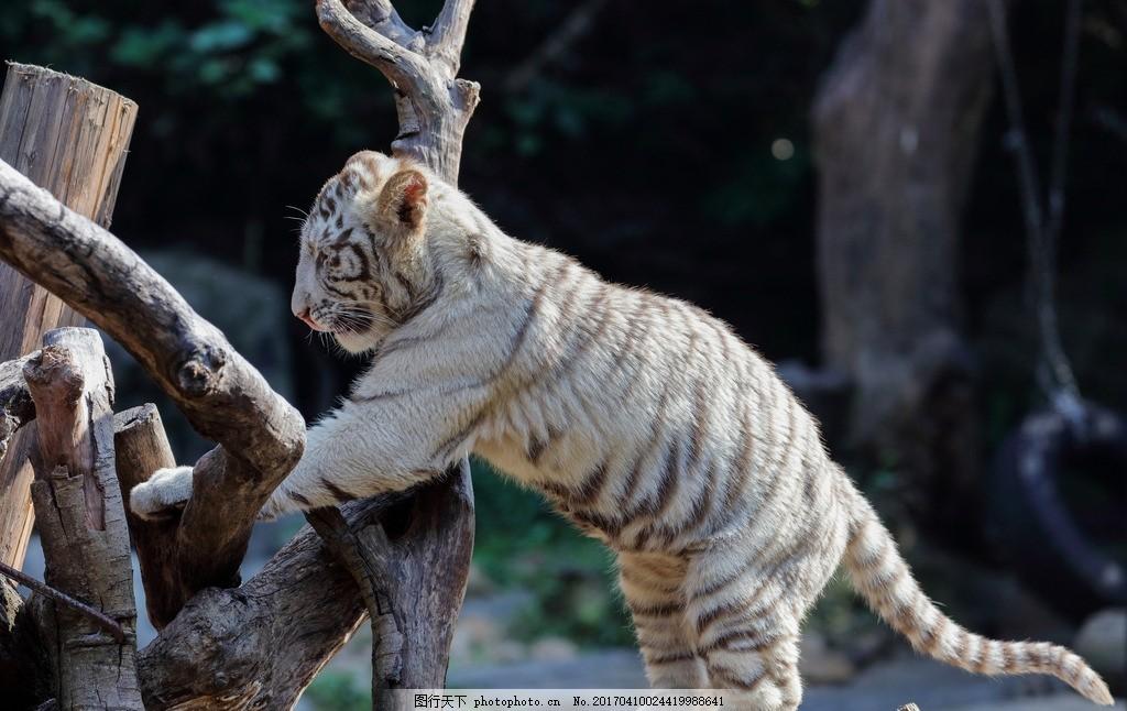 小白虎 动物 哺乳动物 动物园 老虎 摄影