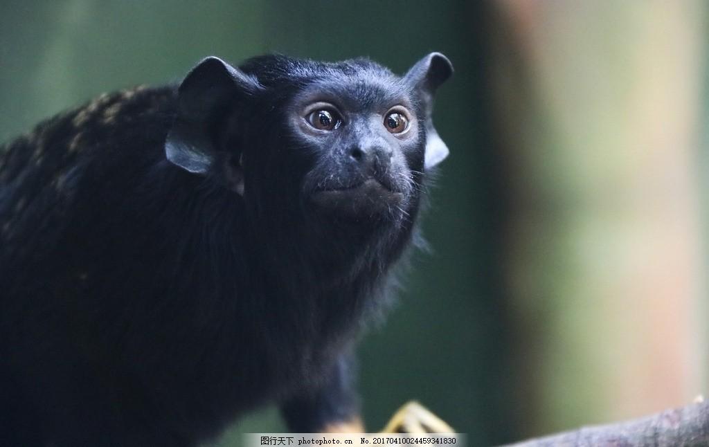 黑猴 猴子 动物 猴子 黑猴子 注视 有趣的动物 摄影 摄影 生物世界