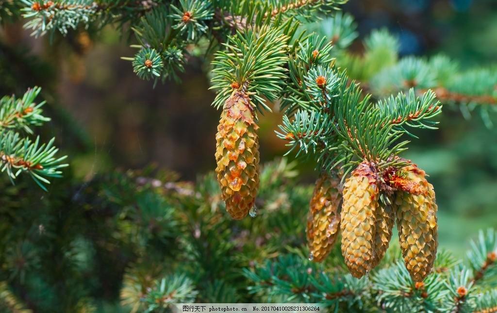 松塔 松子 松果 针叶 松树 松叶 摄影 素材 花草植物树木 摄影 生物