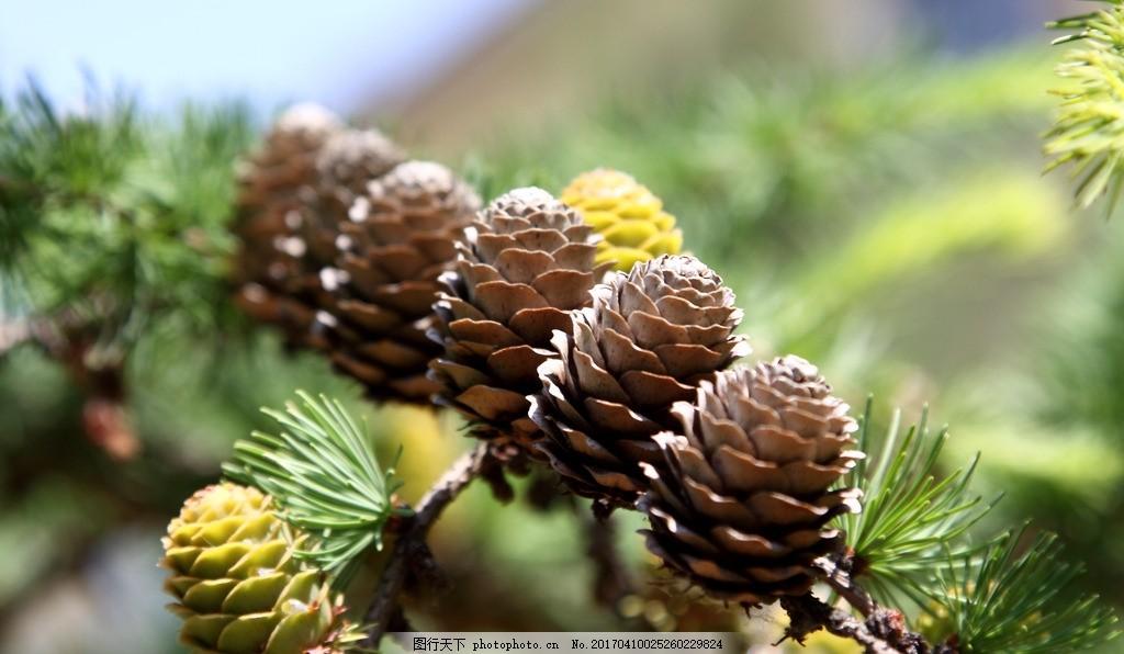 松塔 松子 松果 针叶 松树 松叶 摄影 素材 花草植物树木 摄影 生物世