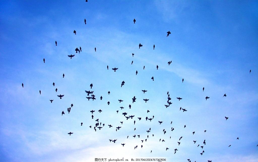 天空中的鸟群 自然 动物 羽毛 户外 彩霞 飞翔 云彩 云朵 摄影
