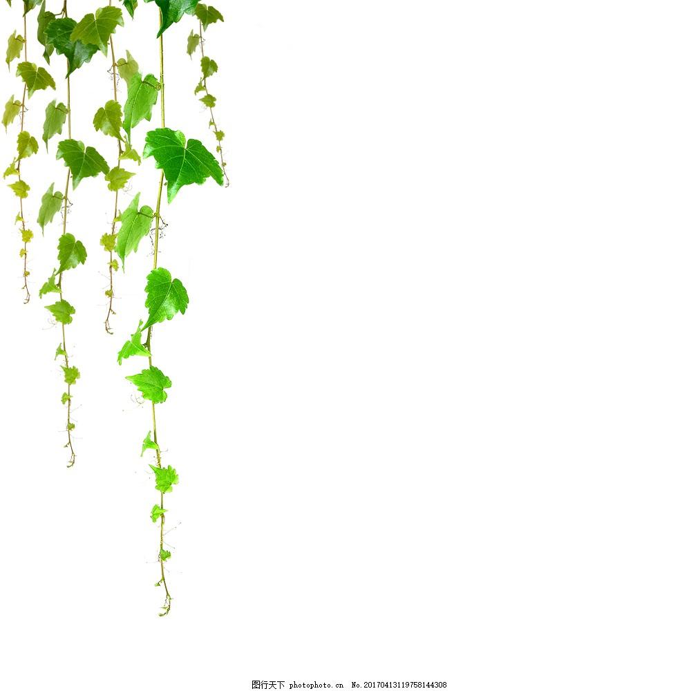 树叶藤蔓 树叶 藤蔓 叶子 绿色