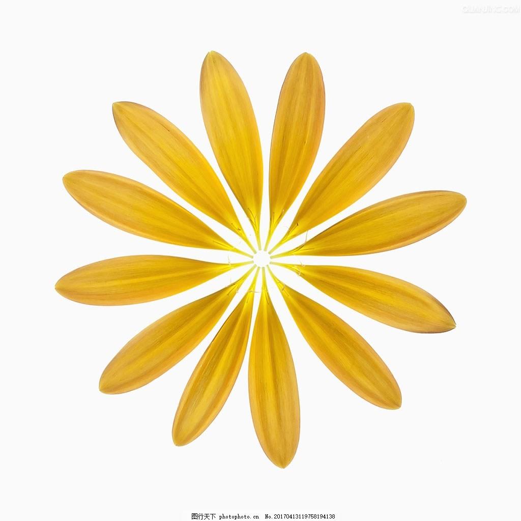 菊花 抠图 花瓣  作业 素材 黄花  平面设计 免抠 psd文件  装饰图案