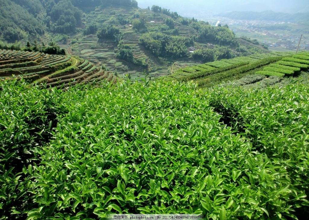 茶园 云雾 茶山 风景 茶叶 摄影 自然景观 田园风光 摄影 自然景观