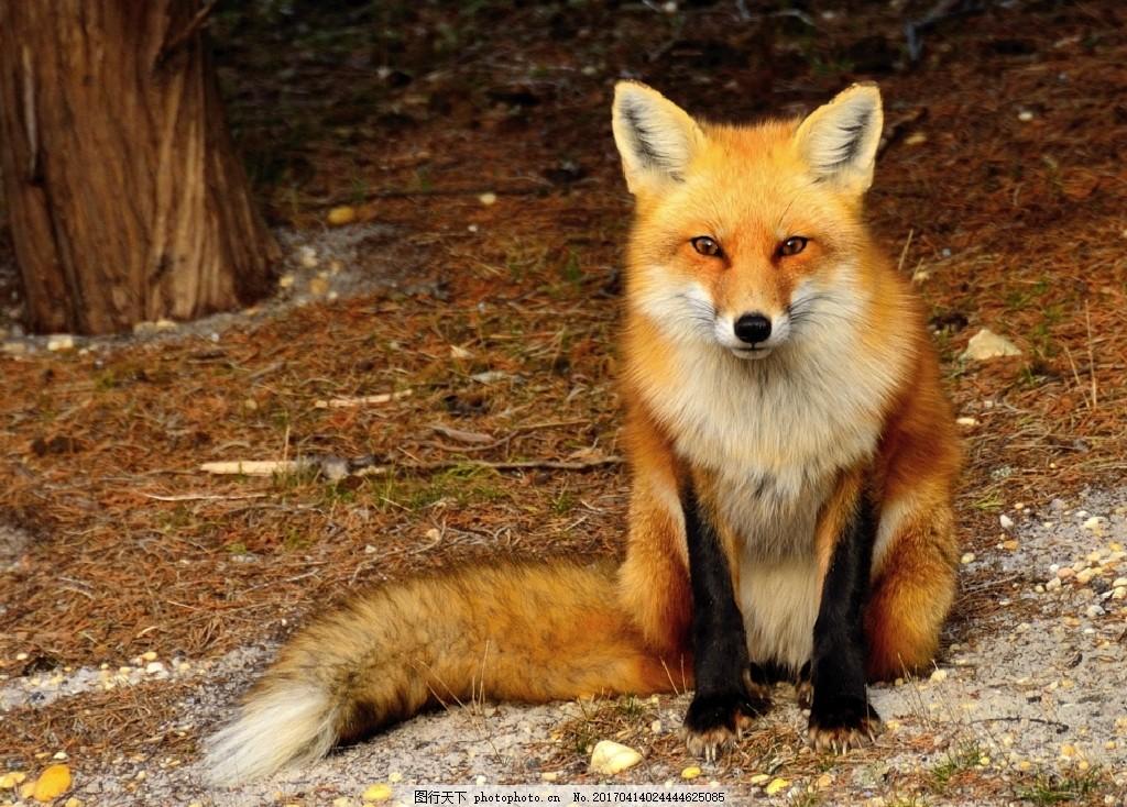 狐狸 可爱动物 凝视 野外狐狸 狡猾 摄影 生物世界 野生动物 300dpi t