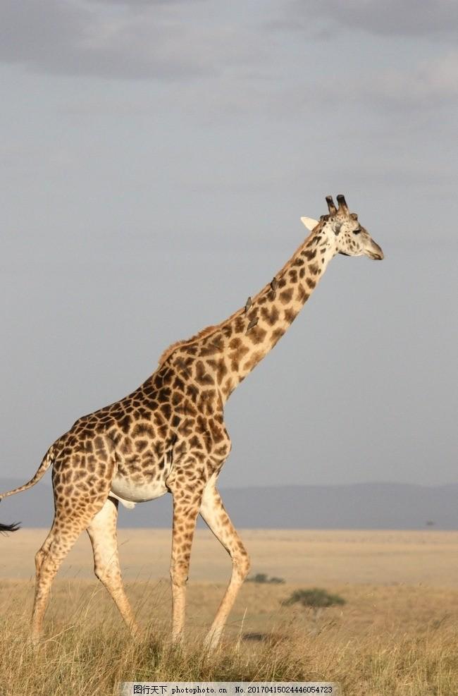 长颈鹿 动物 野生动物 哺乳动物 草原      摄影 生物世界 野生动物 7