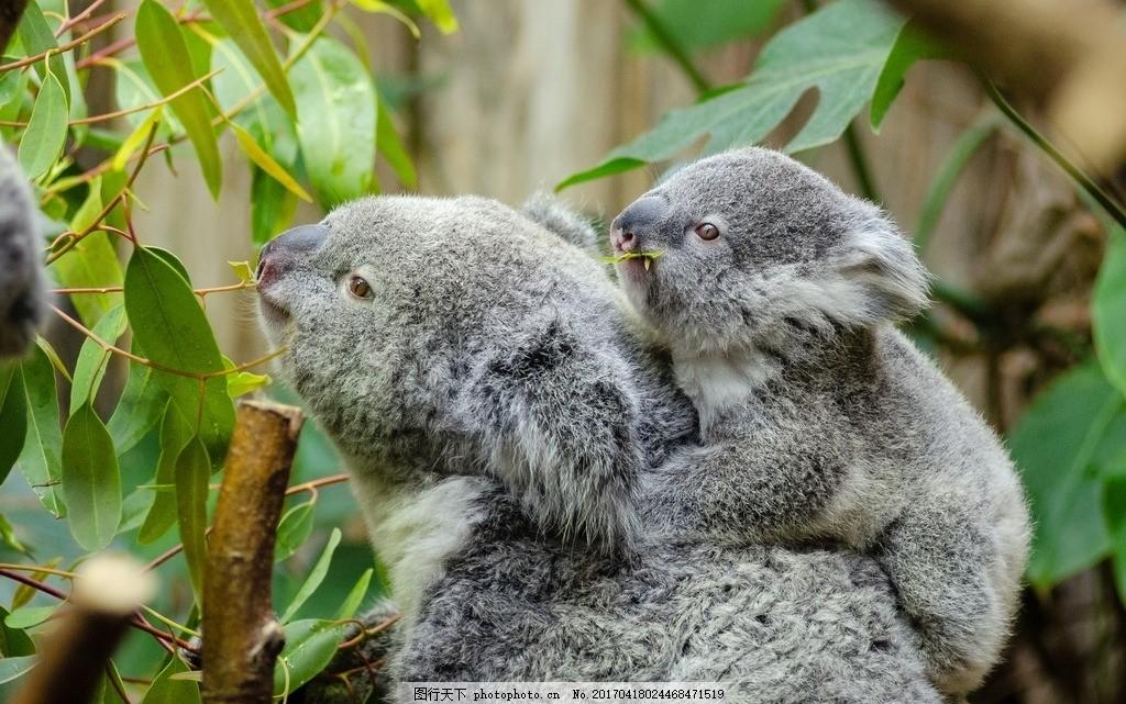 考拉 树袋熊 国宝 树栖动物 澳大利亚 保护动物 摄影 动物飞鸟昆虫