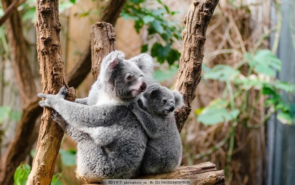 树袋熊 考拉 国宝 树栖动物 澳大利亚 野生动物 动物 保护动物 摄影