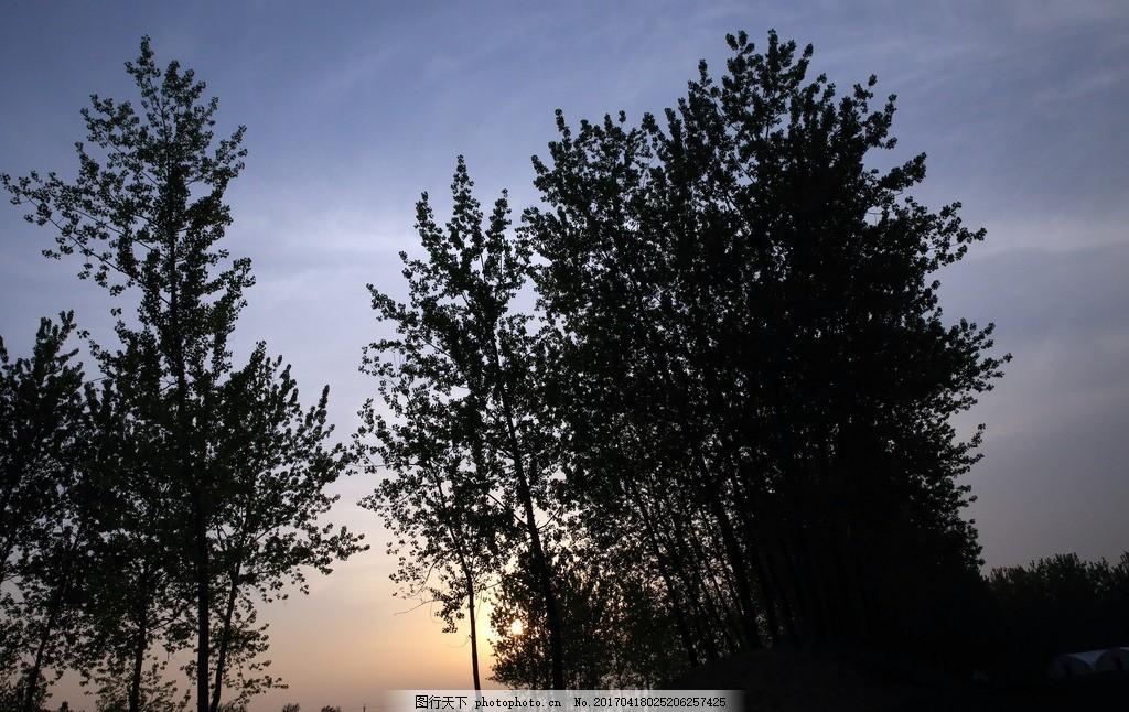树林 黄昏树林 夕阳树木 杨树林 河边树林 风景树木 春天杨树