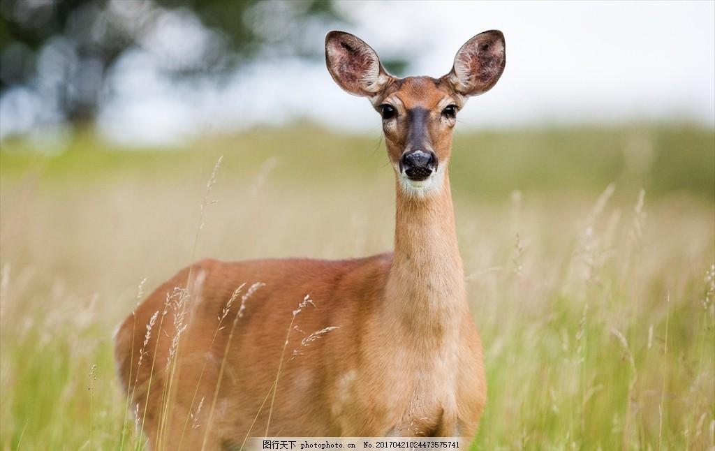 獐鹿 驴子 香獐 獐子 山驴子 动物 摄影 动物飞鸟昆虫禽类