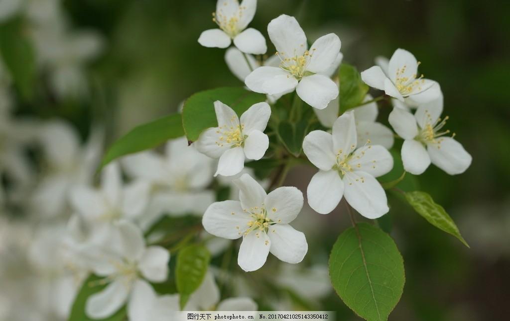 春天花 小清新 清新背景 白花 海棠花 梨花 高清 特写 微距 电脑桌面