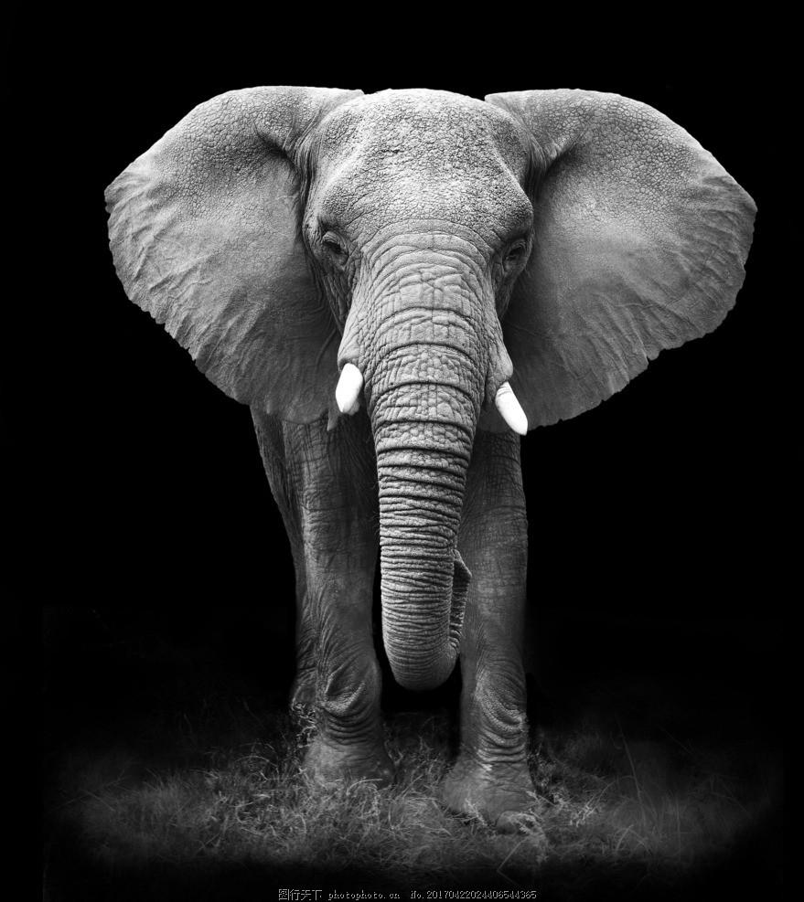 唯美 动物 可爱 野生 大象 摄影 生物世界 野生动物 300dpi jpg