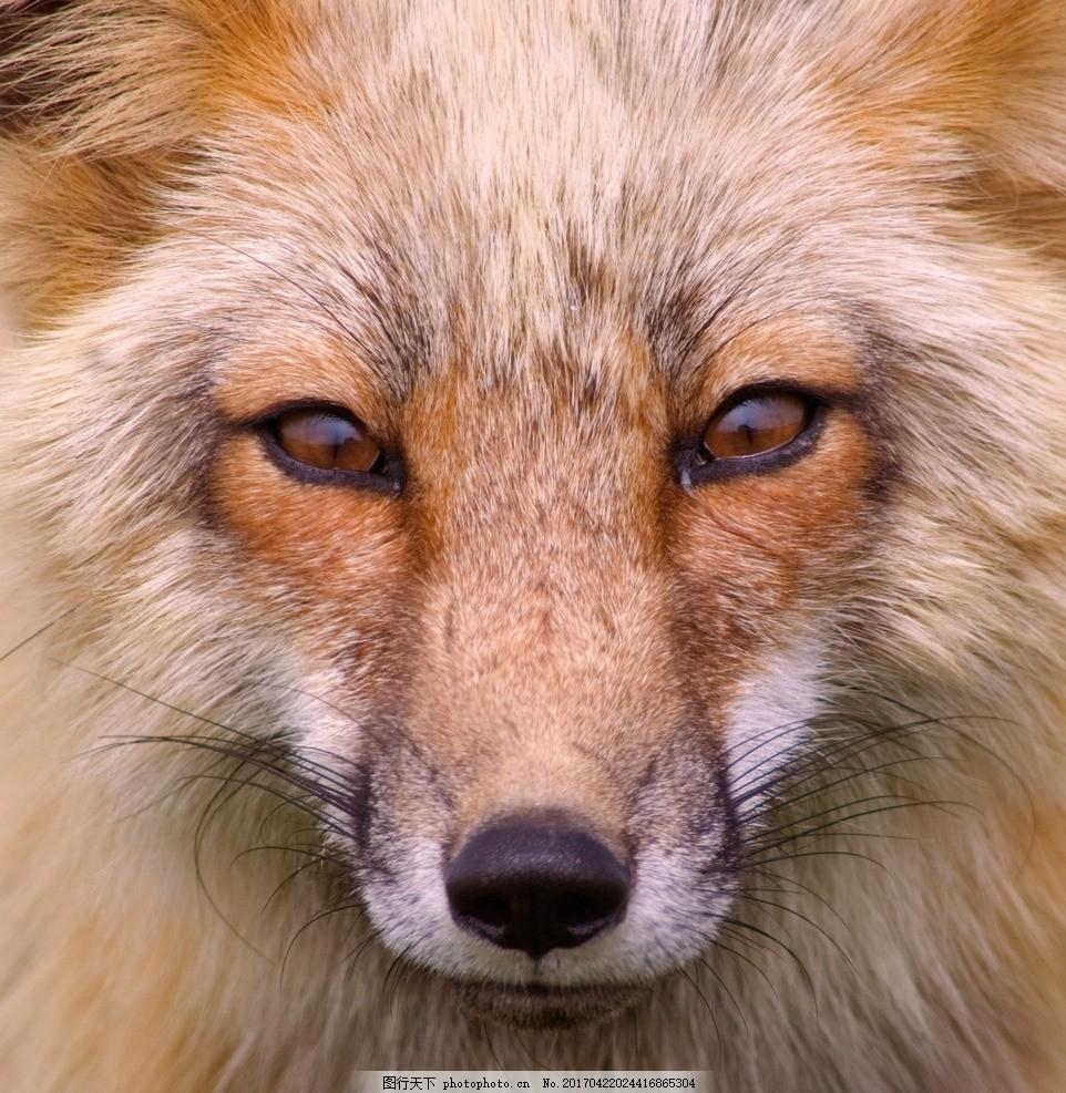 唯美 动物 可爱 野生 狐狸 摄影 生物世界 野生动物 300dpi jpg