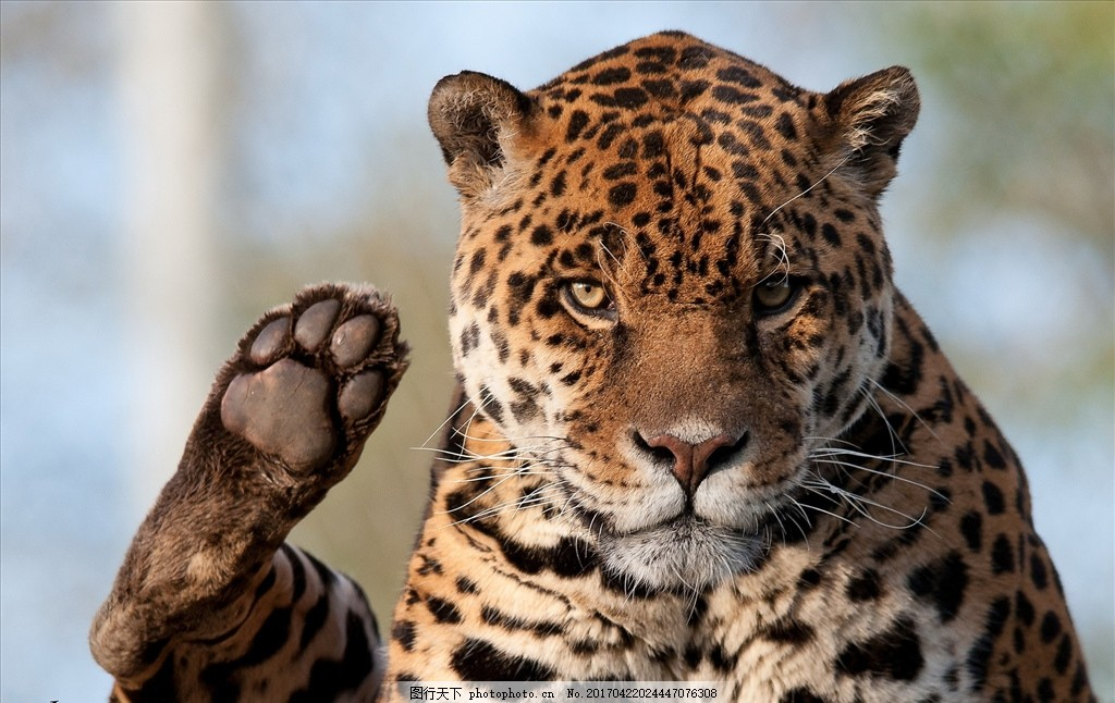 豹子 山猫 雪豹 豹 文豹 动物 摄影 生物世界 野生动物 240dpi jpg