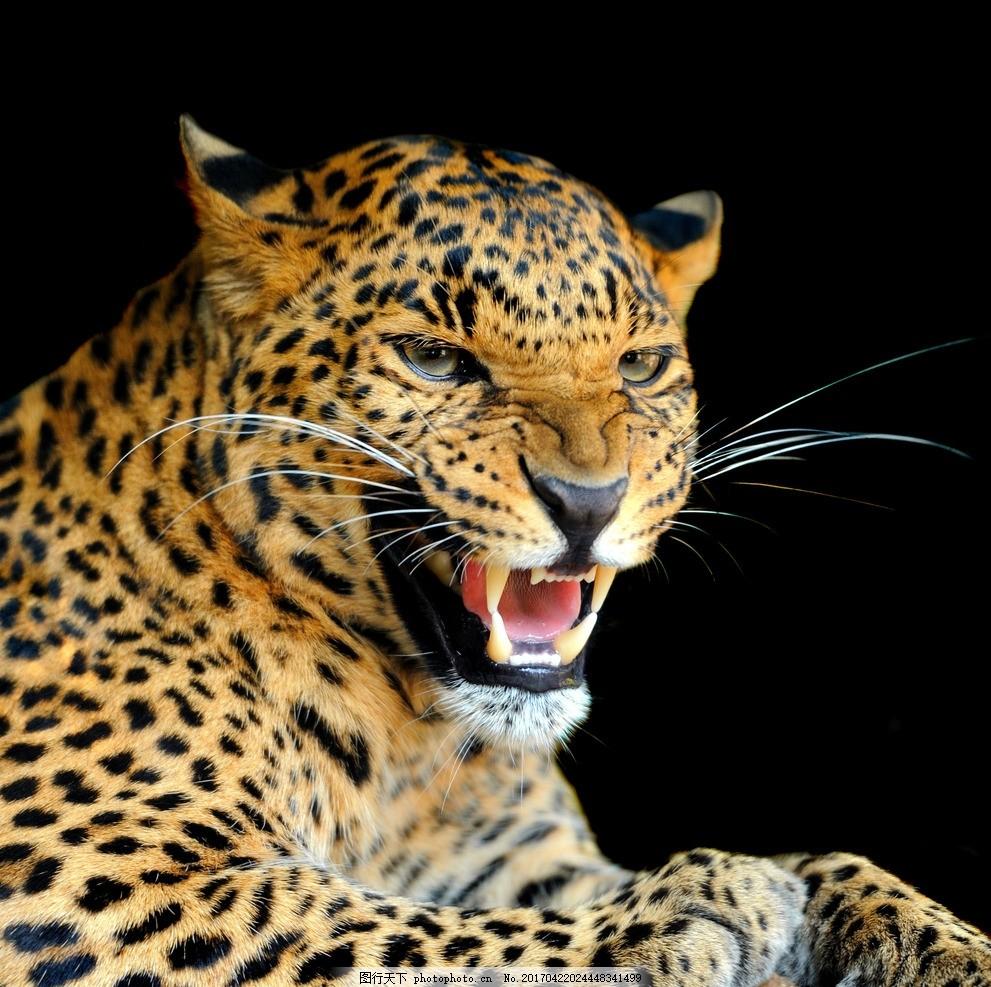 唯美 动物 可爱 野生 豹子 花豹 摄影 生物世界 野生动物 300dpi jpg