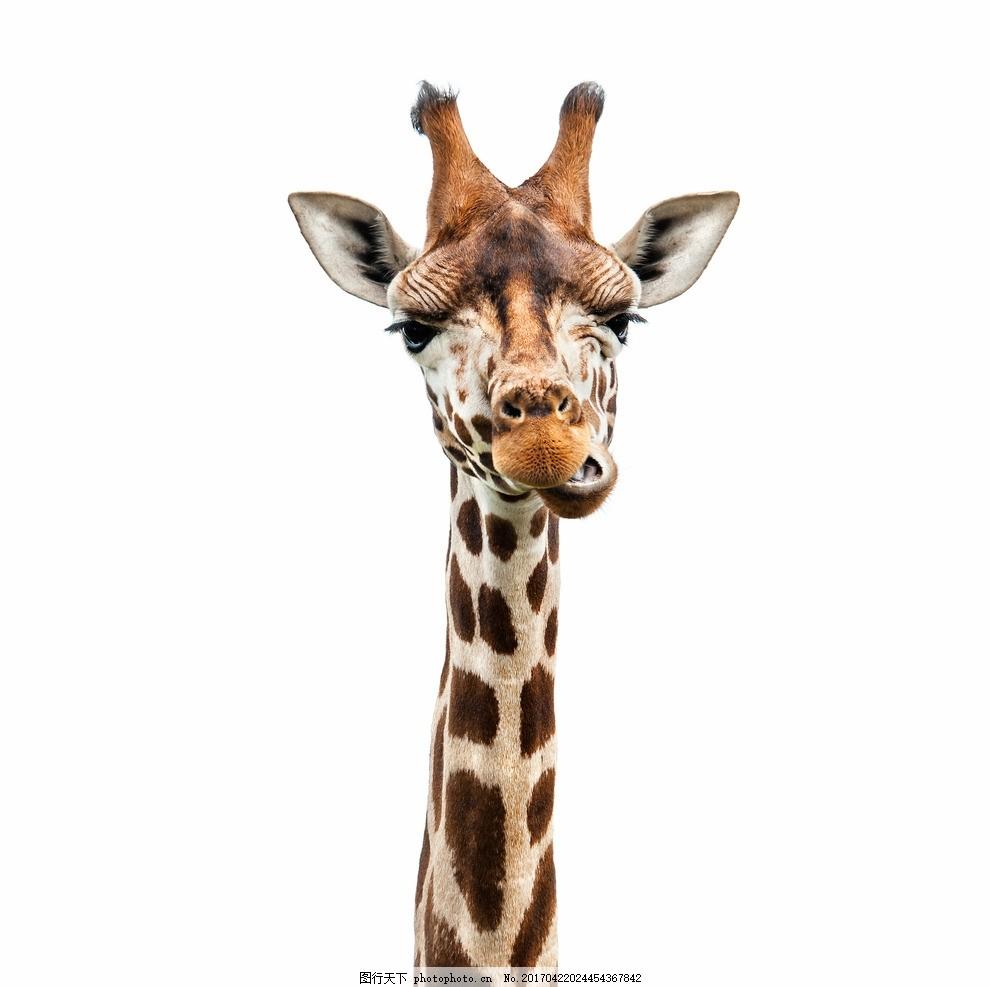 长颈鹿 唯美 动物 可爱 野生 摄影