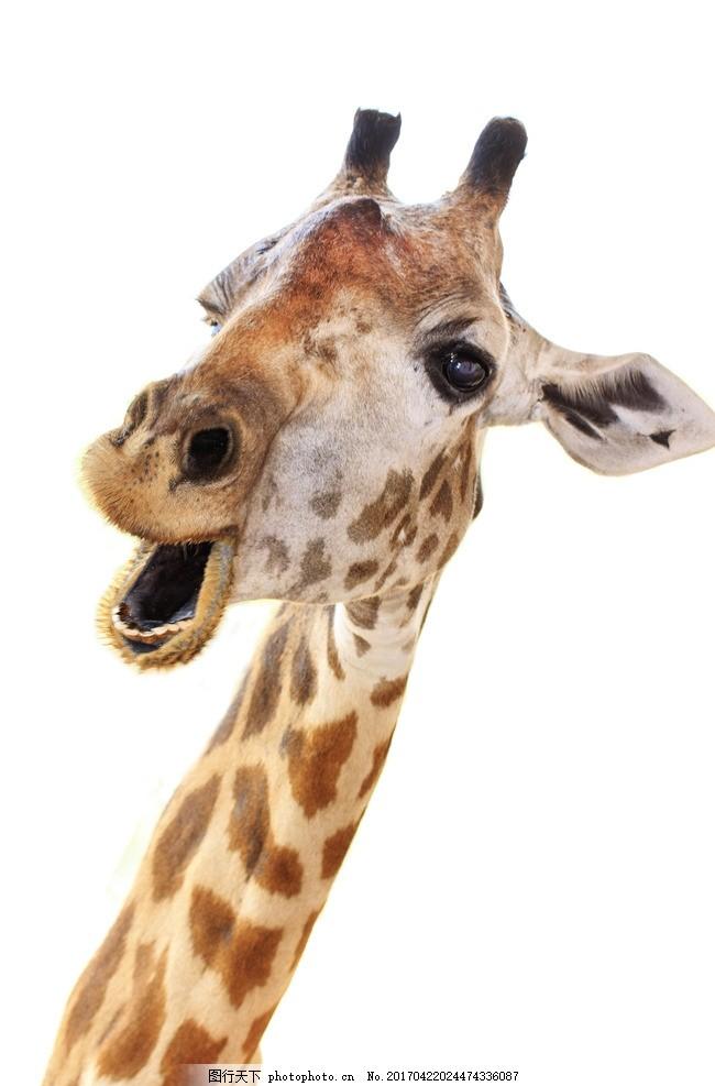 唯美 动物 可爱 野生 长颈鹿 摄影 生物世界 野生动物 300dpi jpg