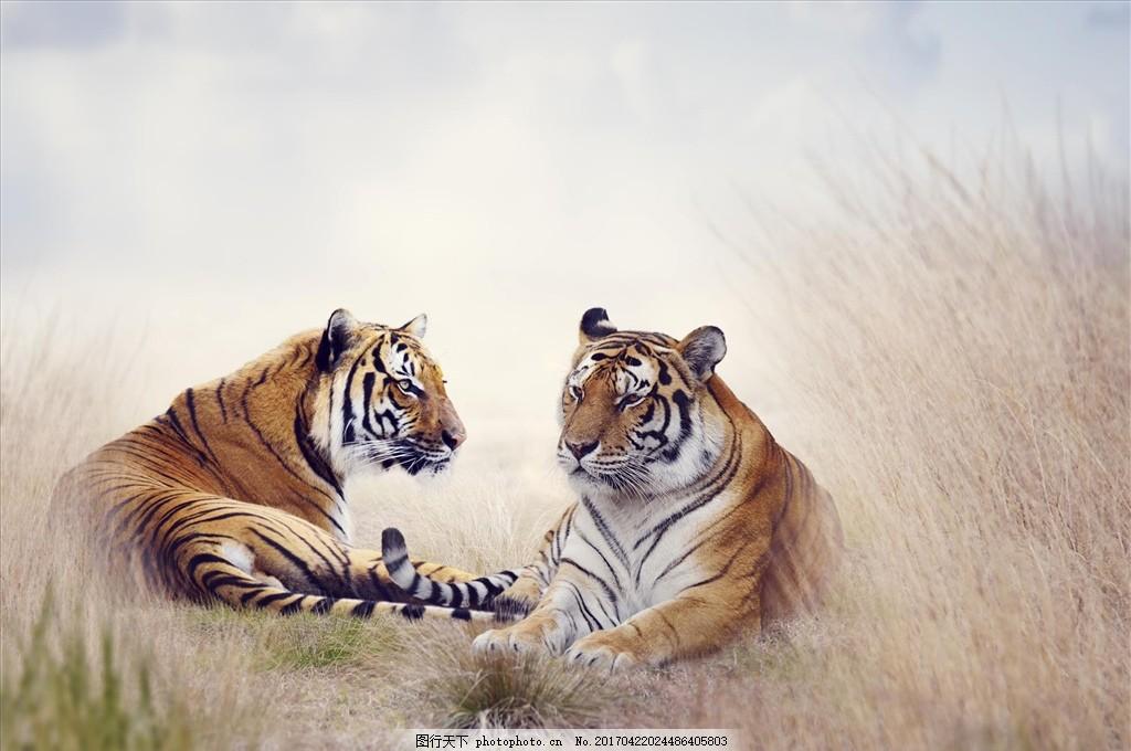 双虎 猛虎 老虎 森林之王 大猫 动物