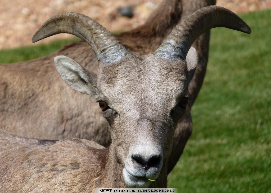 山绵羊 山羊 混血羊 奇异动物 摄影 动物飞鸟昆虫禽类