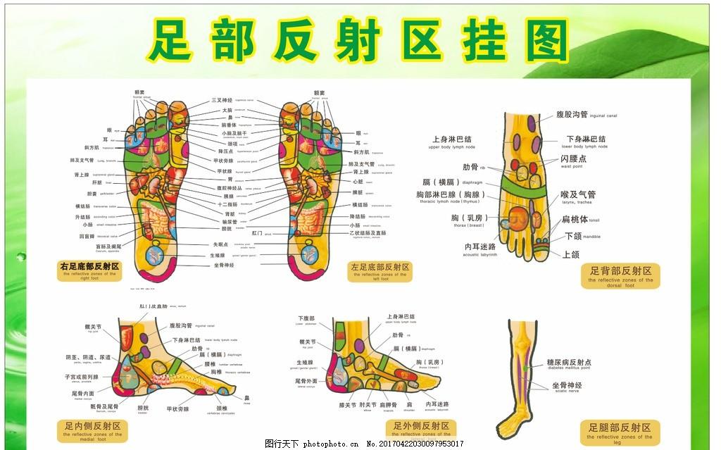 足部展板 反射区挂图 手脚 长腿 足结构图