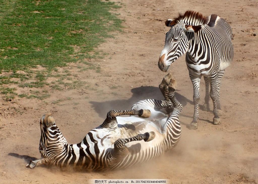 斑马 野生动物 野马 动物 非洲大草原 狂野草原 动物世界 奇蹄目 马科