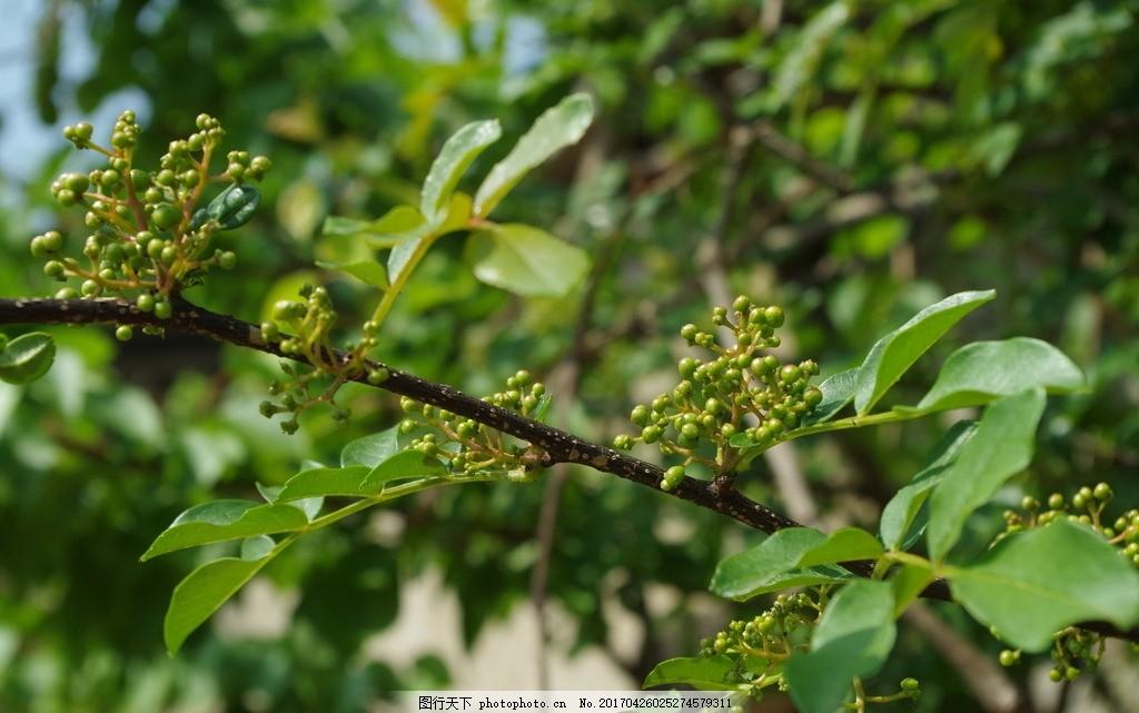 花椒树 青色花椒树 嫩花椒 花椒树图片 摄影 生物世界 树木树叶 300