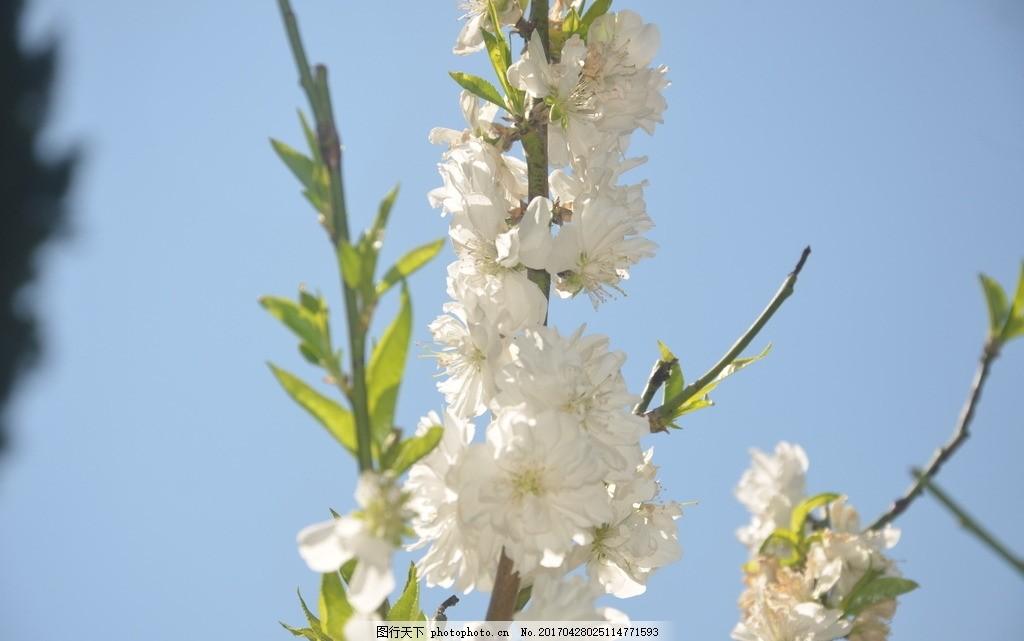碧桃 花卉 花桃 花单生 先叶开放 花瓣 长圆状 椭圆形 花白色