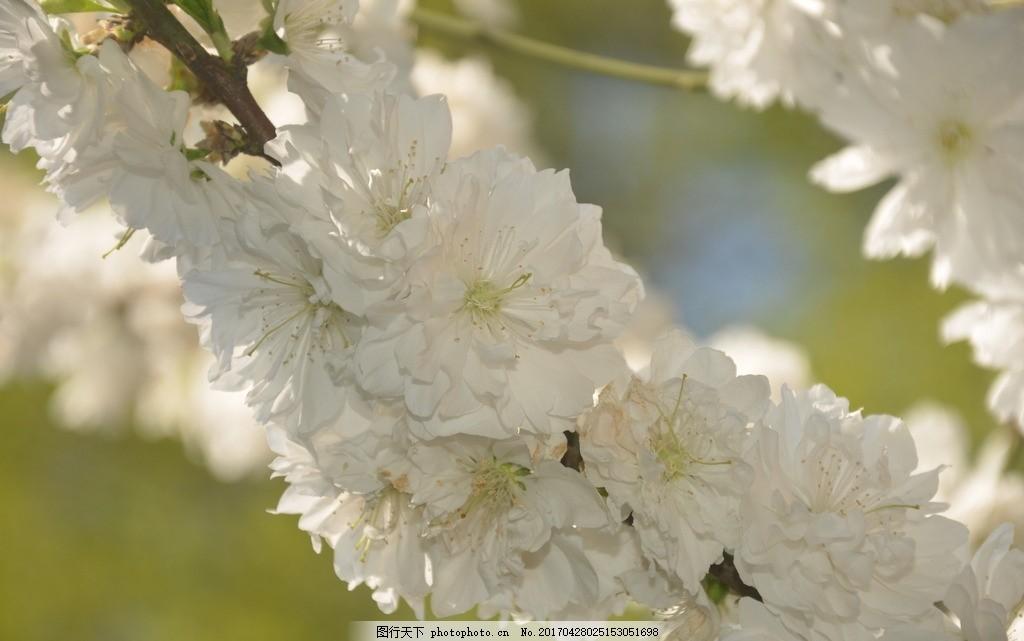 碧桃 花卉 花桃 花单生 先叶开放 花瓣 长圆状 椭圆形 白色