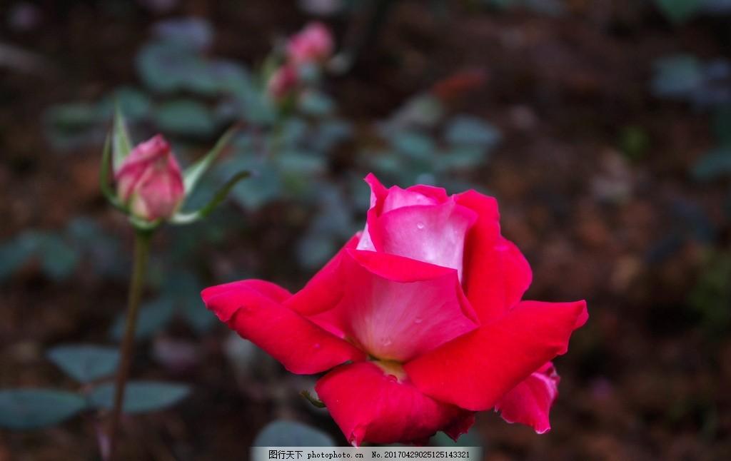 玫瑰花 园林 花园 花圃 花海 花展 花卉 绿叶 红玫瑰花 双色玫瑰 玫瑰