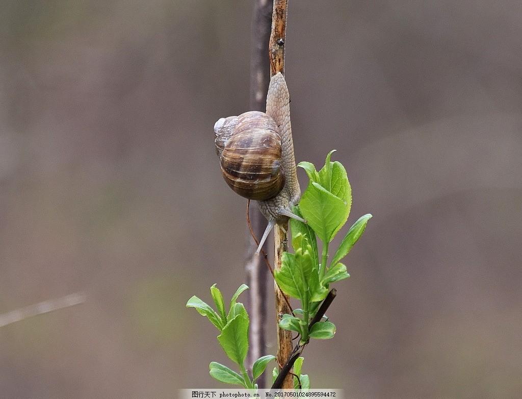 树干上小蜗牛 蜗牛爬行 蜗牛壳 树枝 树叶 绿叶 叶子 爬行动物