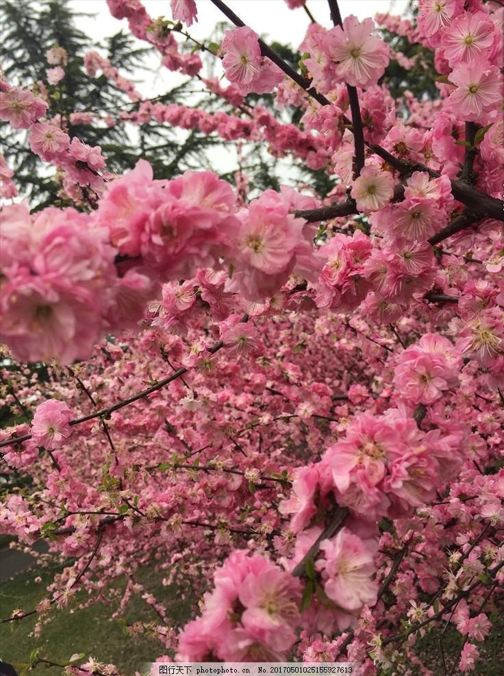 樱花 桃花 粉色花 梅花 绿树 背景 花照片 风景 三生三世 唯美 满地花