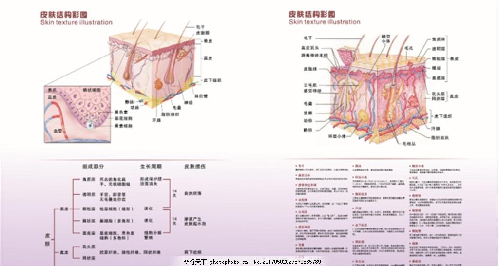 皮肤解剖结构图 皮肤 解剖结构图 皮肤科 表皮层 真皮层 皮下层 矢量