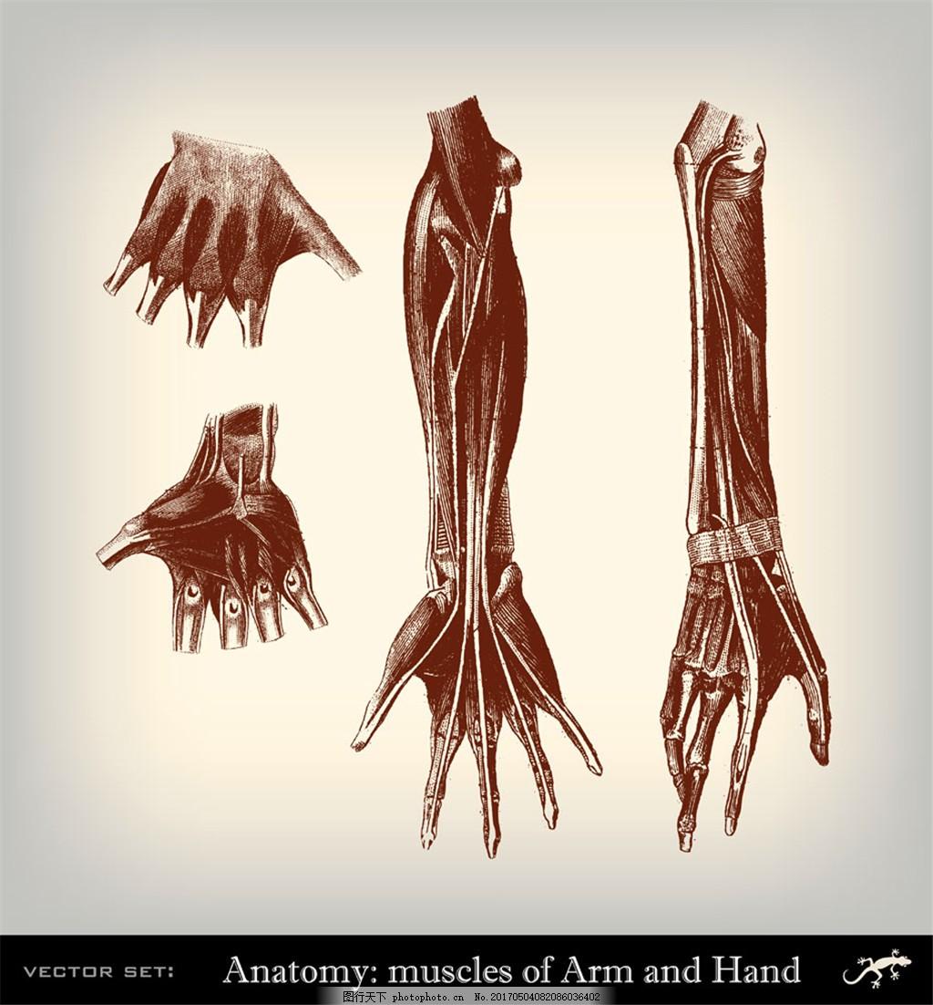 手臂肌肉插画 人体器官素描 人体器官插画 人体解剖学 人体结构插图