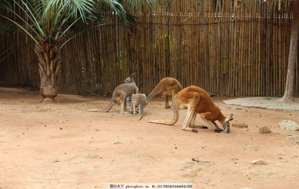 袋鼠 西丽 动物园 游园 野生 摄影