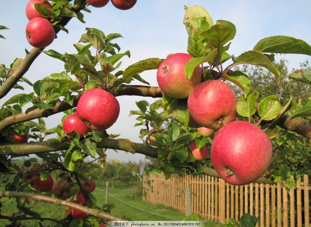 高清红苹果 新鲜苹果 果实 果树 苹果树 苹果叶 叶子 树叶 绿叶图片