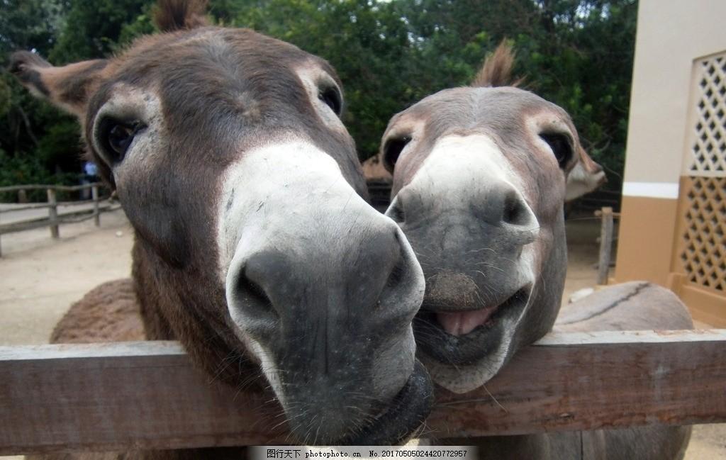 驴 驴子 农场 农村 牲畜 家畜 动物肖像 动物表情 搞怪 搞笑