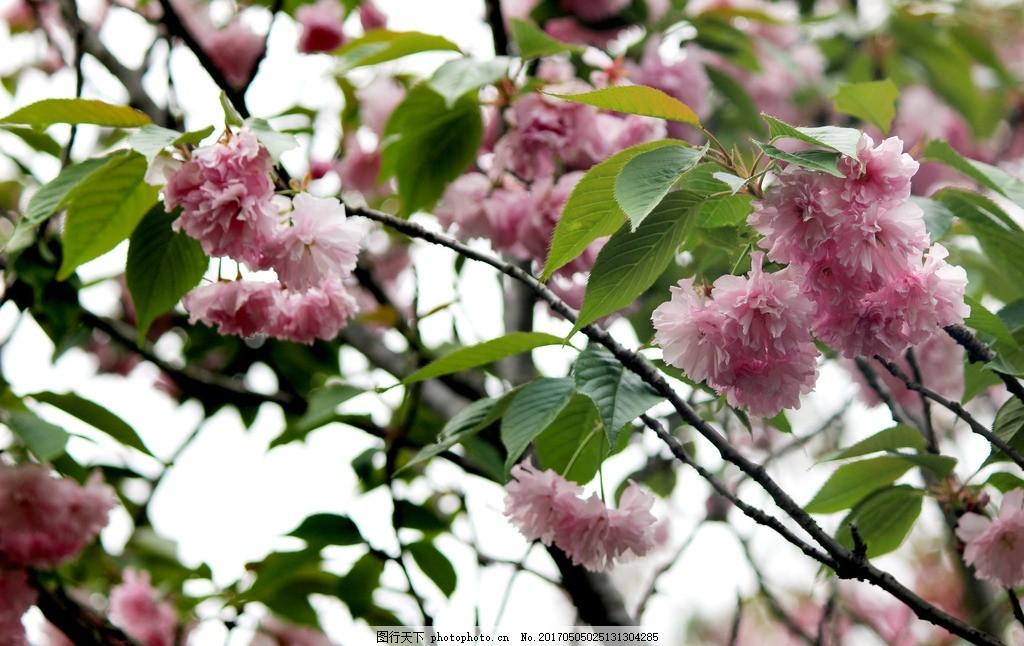 重瓣樱花 粉色樱花 樱花树 白色樱花 白粉色樱花 浪漫樱花 婚礼背景