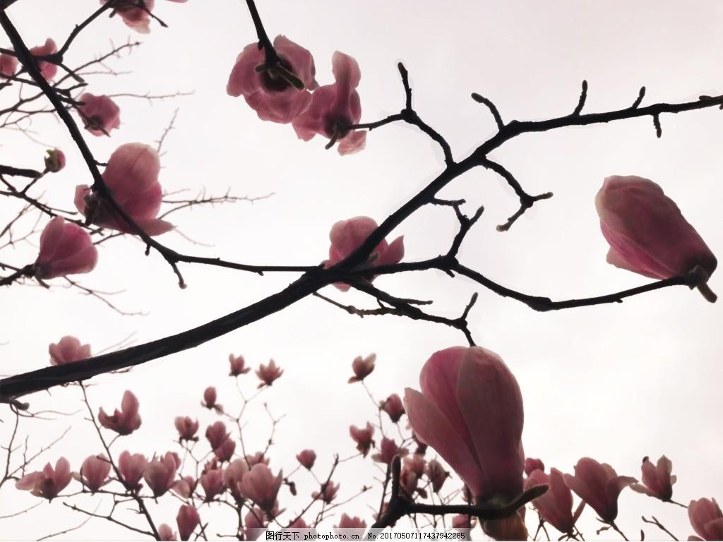 唯美花 粉色花 玉兰花 古风 植物 背景 素材 花叶 花枝 小清新