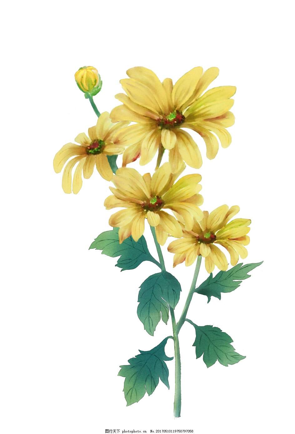 手绘野菊花 中医 中药 水彩 植物 花朵 花卉