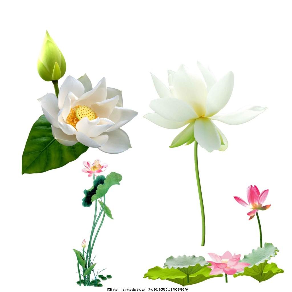 荷花 白荷花 红莲 荷叶 荷塘 夏季荷花 植物 花卉 中国风 廉政