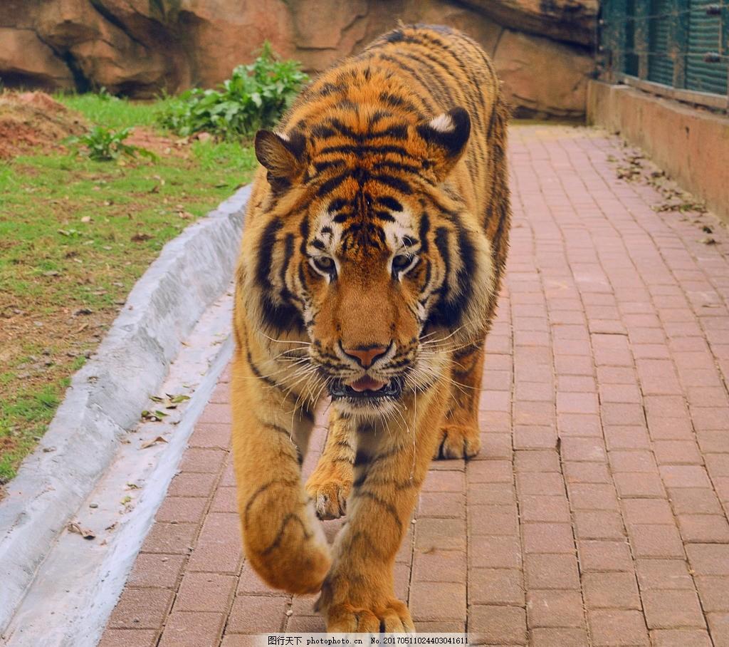 长沙野生动物园-东北虎