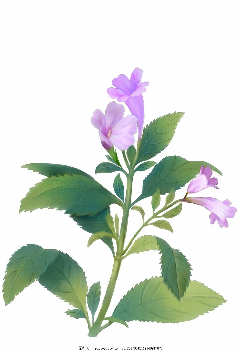 南板蓝根 马蓝 中药 手绘 药材 植物