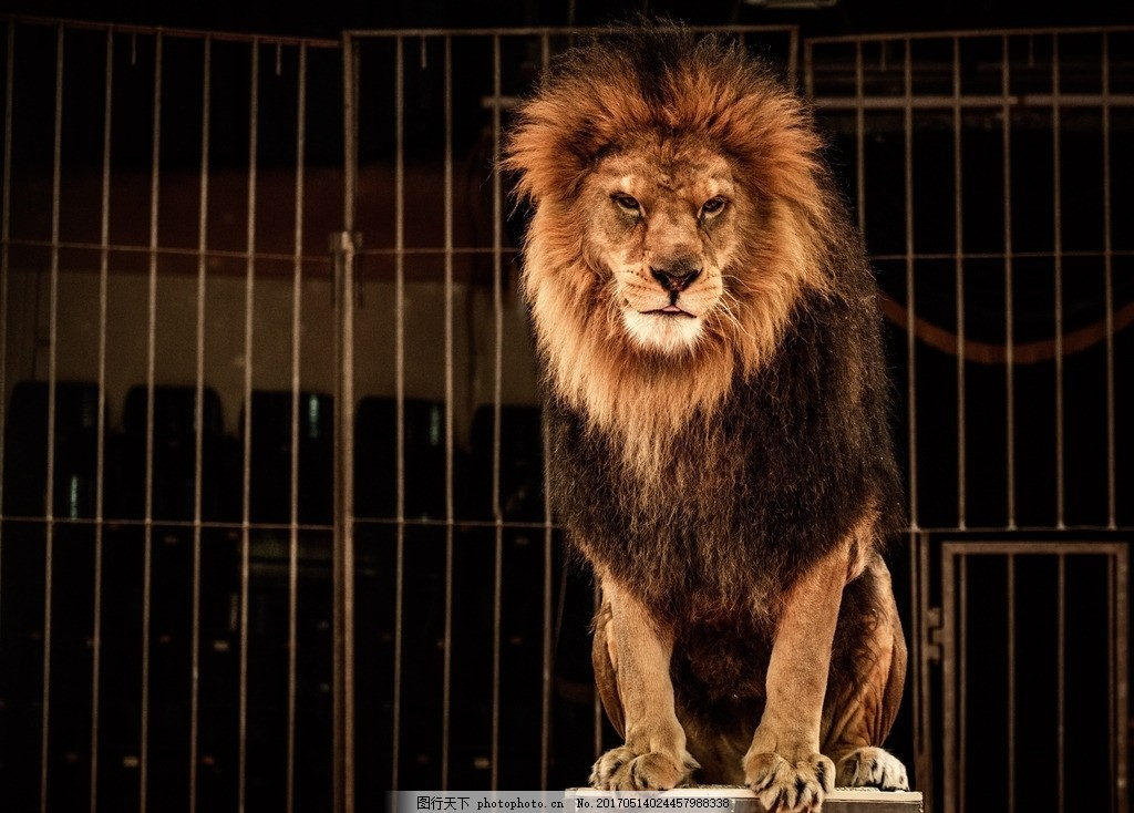 狮子 唯美 可爱 动物 野生 摄影