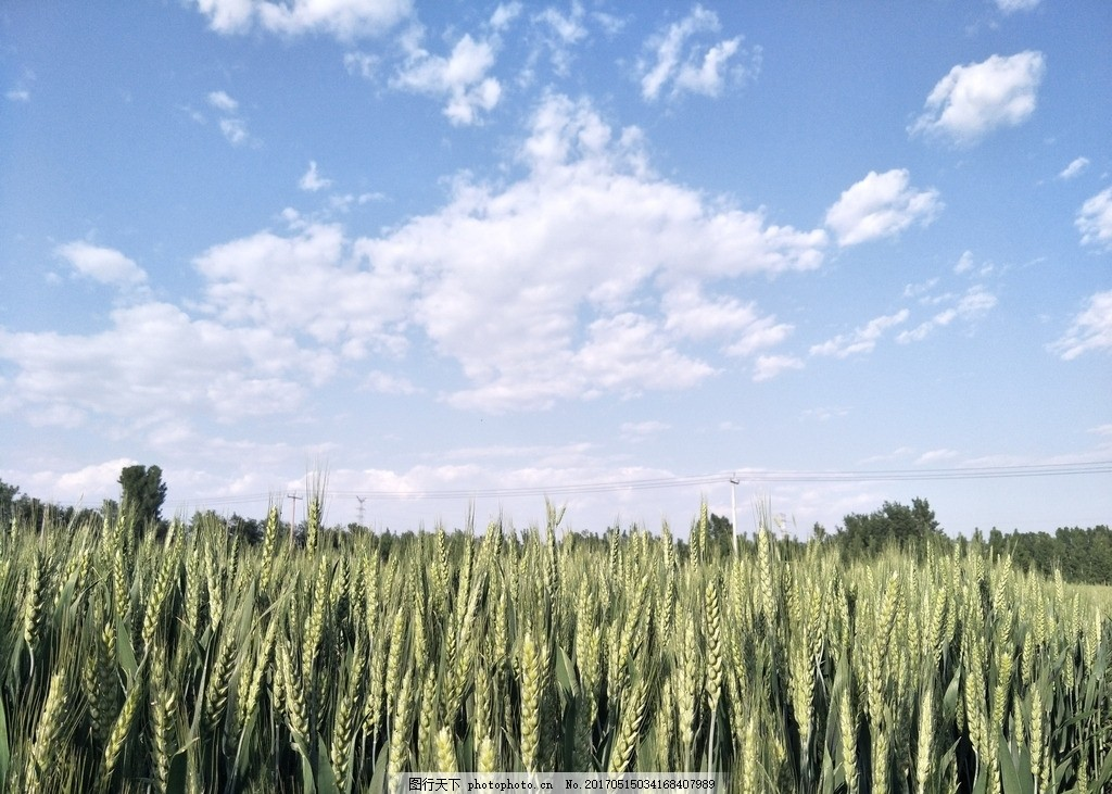 麦田 田野 风景 绿色 天空 蓝天 白云 树木 自然风光 风景图 摄影