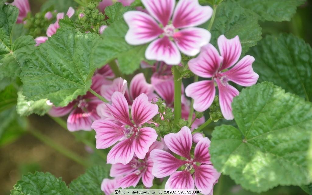 锦葵 花卉 钱葵 欧锦葵 花簇生 叶腋 花冠 紫红色 花卉系列