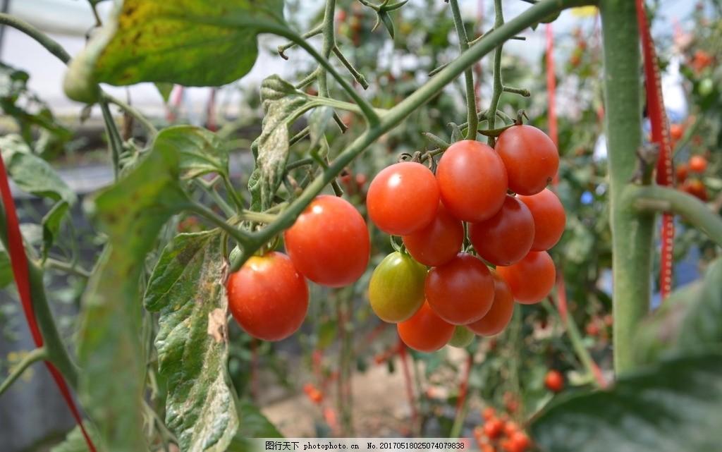 蔬菜 素材 摄影 自然景观 田园风光 72dpi jpg 蔬菜采摘 采摘 圣女果